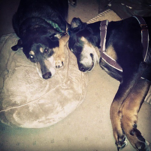 Lots of cuddling going on today. Tut and Lola. <3 #dogstagram #ilovemydogs