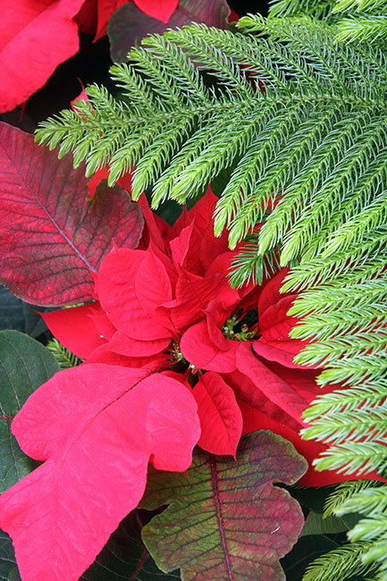 Poinsetta-and-Pine