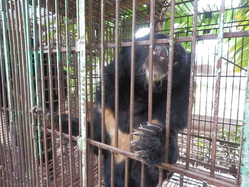 Bears languish on Hai Farm in Vietnam's Quang Ninh province, 2014 (1)