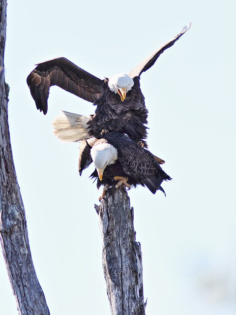 Bald Eagles mating 2-20150128