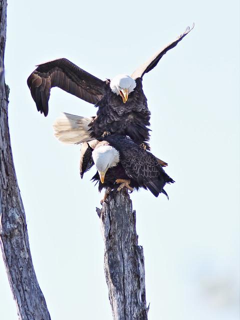 Bald Eagles mating 2-20150128