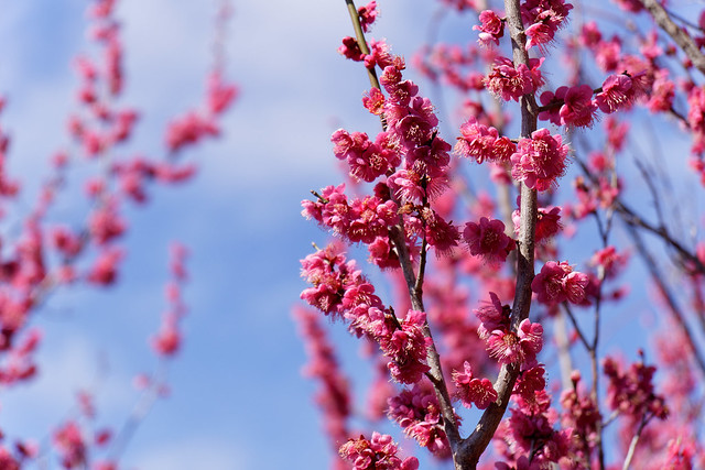 red ume blossoms