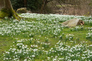 Painshill snowdrops_3