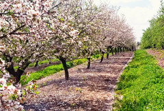 Almods in blossom, Jesreel Valley 1