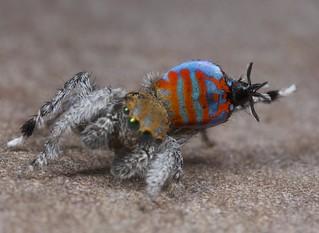 _X8A9750 peacock spider Maratus jactatus