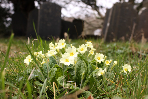 A clump of jolly little primroses