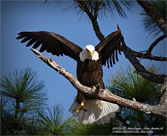 Bald Eagles shoot, 2013-12-22,Palm Harbor,Fl._IMG_2711_
