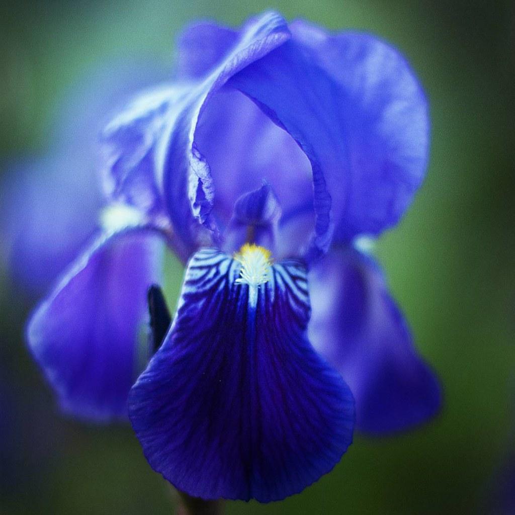 Blue Iris  #Blue #Iris #Flower #Macro #Spring #violet #photooftheday #picoftheday #follow4follow #igersmilano #bokeh #dof #bloom