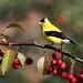 *** Chardonneret jaune /  American goldfinch by ricketdi