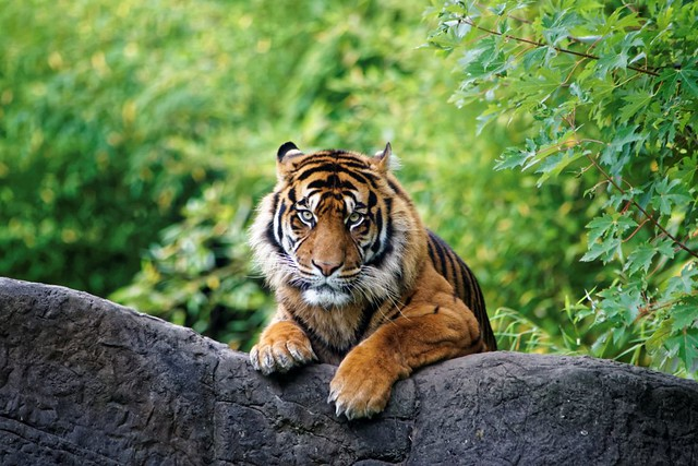Tiger on the Rocks