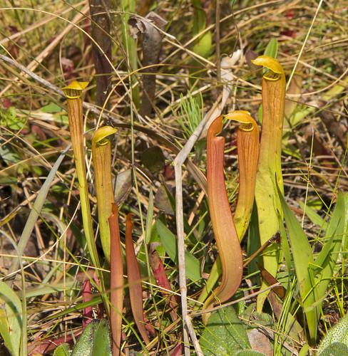 mississippi spring16 plants dilleniidae nepenthales pitcherplantsarraceniaceae flickr gautier unitedstates