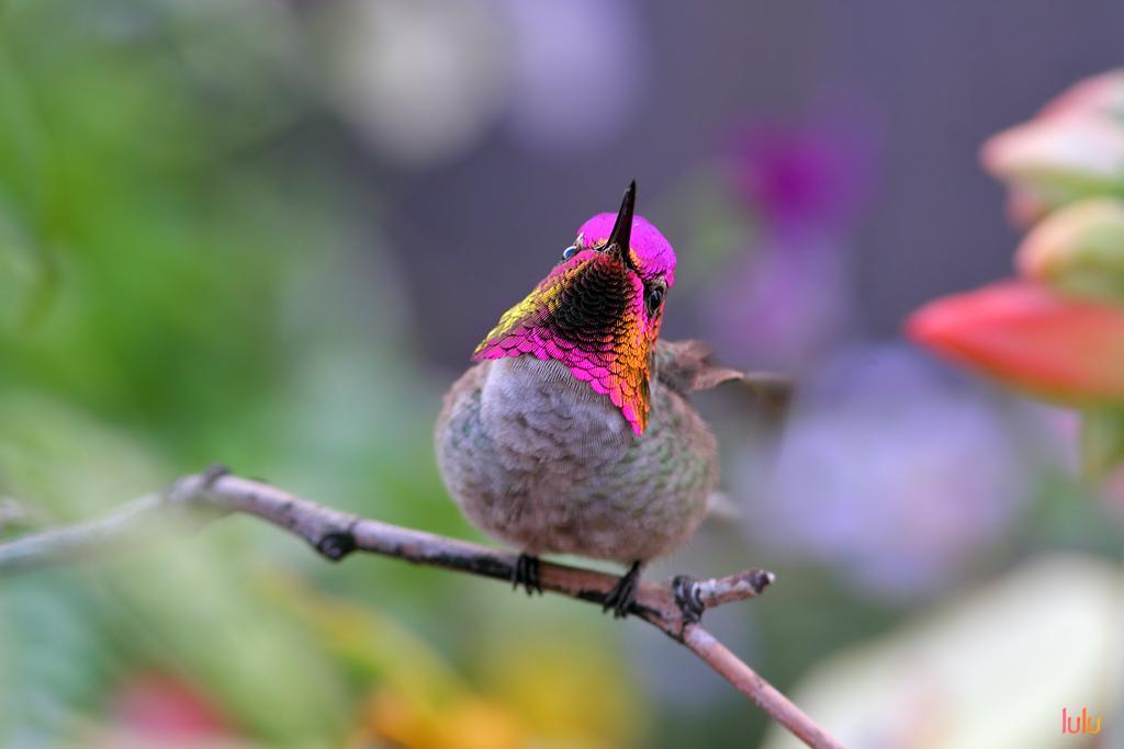 Anna's-Hummingbird-120614