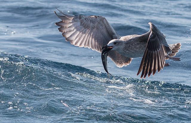 Gaviota a la rica sardina