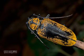Longhorn beetle (Cerosterna sp.) - DSC_5327