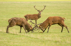 animal, prairie, deer, herd, fauna, elk, grassland, wildlife,