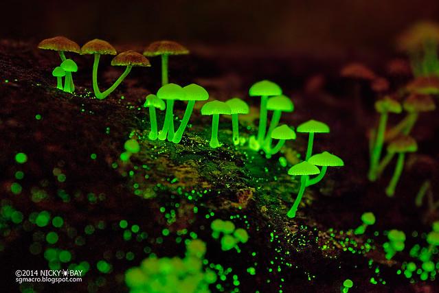 Bioluminescent fungi (Filoboletus manipularis?) - DSC_2435