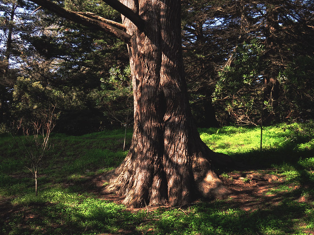 Tree in sunlight.  Golden Gate Park, San Francisco (2015)