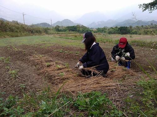 2014年10月志工協助載地瓜葉周圍鋪乾草