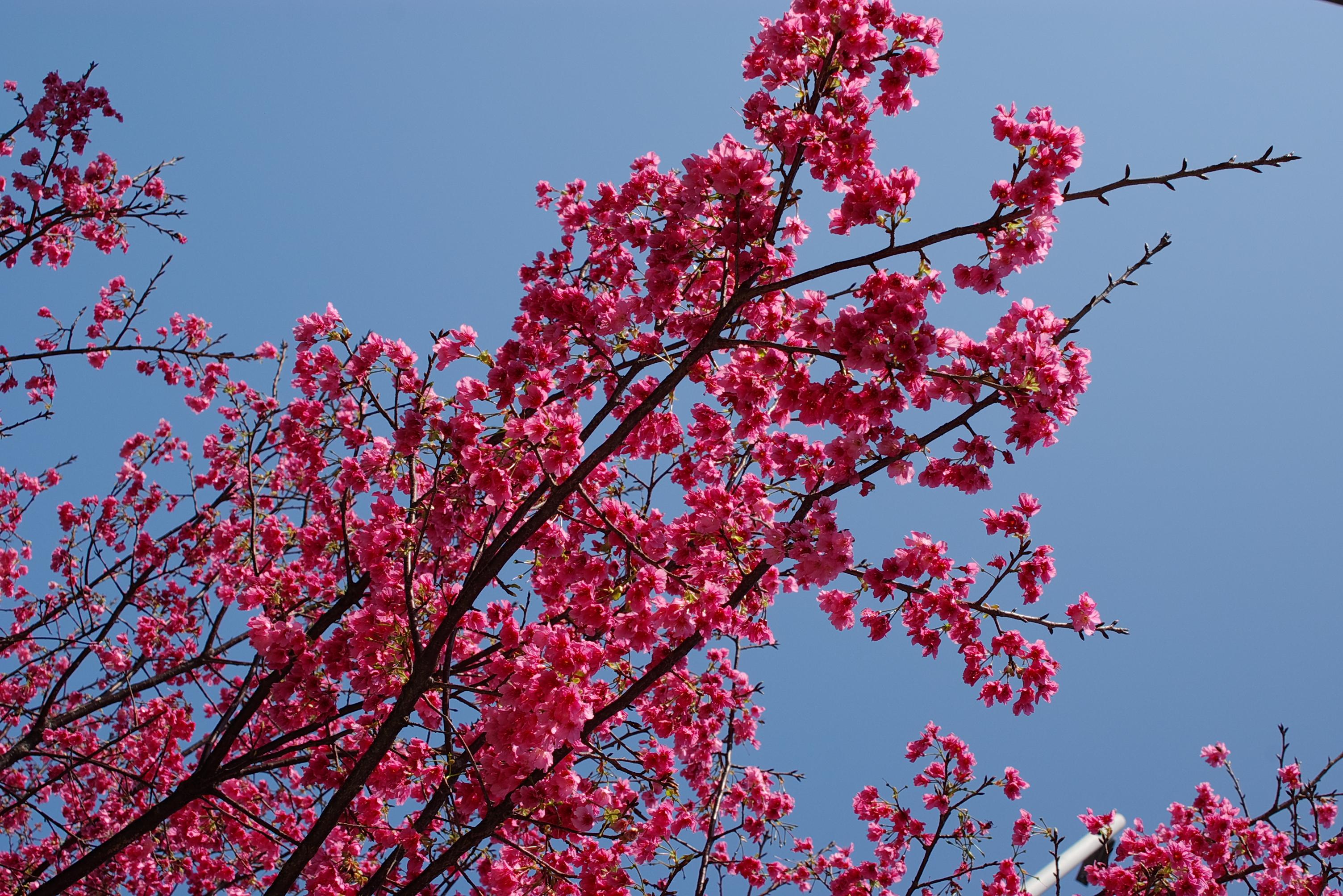 巷口的櫻花