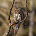 Northern Pygmy-owl with snack by annkelliott