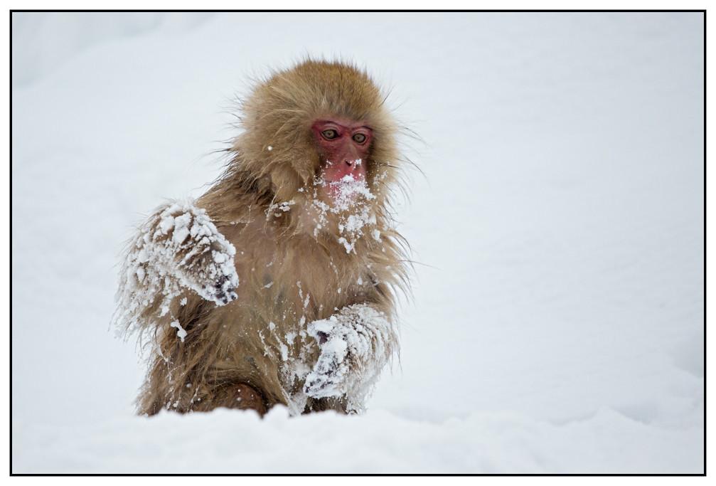 Snow Monkey, Macaca (Macaca fuscata) (Japanse makaak) in het Jigokudani Monkey Park, nabij Nagano in Japan ...