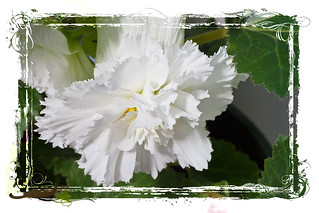 White Fringed Begonias