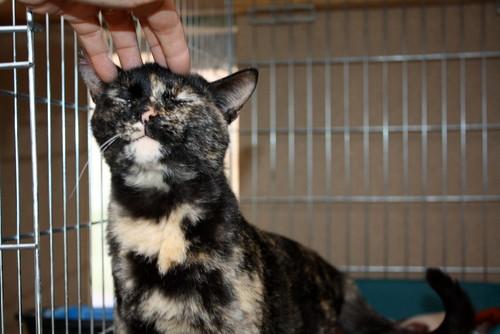 FALLECIDA- Mandala, preciosa gatita carey dulcísima de ojos verdes esterilizada, nacida en Julio´14, en adopción. Valencia. 16613874958_63215aa3bc