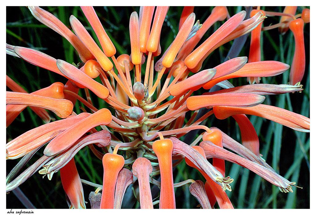 flores de aloe saponaria