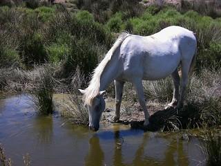 FRANCE - Provence, Pferde in der Camargue, 73444/4746