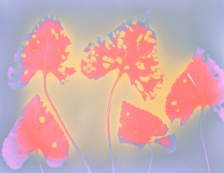 """Lumen Print 1595 Botanical by John Fobes"""" copyrighted all rights reserved"""
