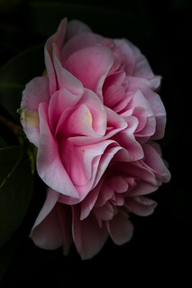 camellia bloom, Vancouver, BC