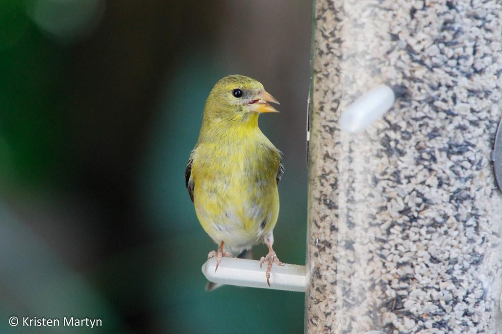 American Goldfinch (Spinus tristis)- WBU Finch Blend
