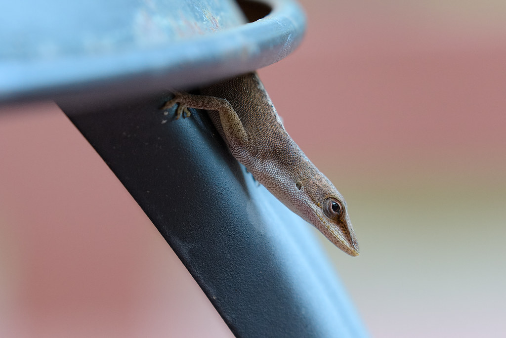 A green anole peeks out of from its hiding place on the porch
