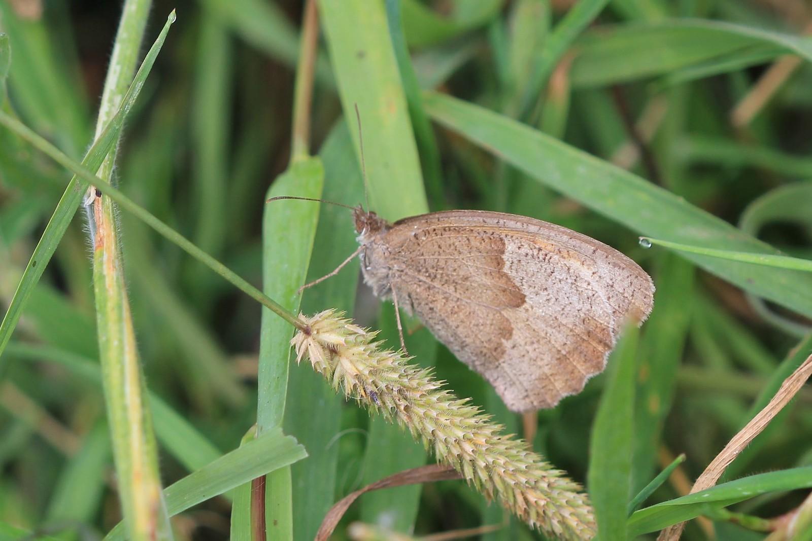 Meadow Brown near Hartfield