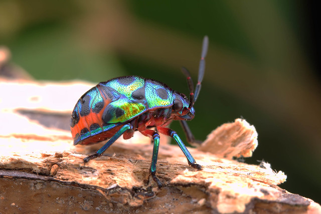 IMG_8136.jpg Jewel bug.