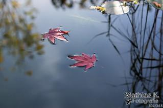 Schwimmende Blätter | Projekt 365 | Tag 302