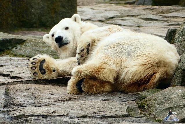 Berliner Zoo Orang Utan Rieke 22.02.2015   20