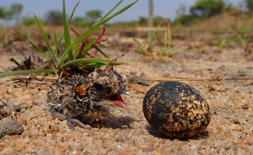 Temminck's Courser Chick