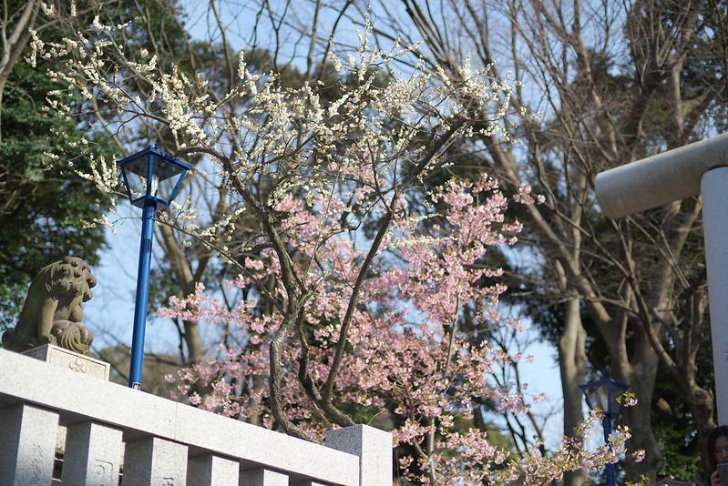東京路地裏散歩 上野公園の桜と梅 2015年3月5日