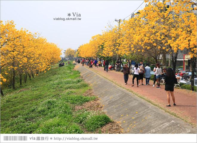 【嘉義景點】嘉義軍輝橋黃金風鈴木~全台最美的堤防!開滿滿的風鈴木美炸了!21