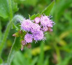 plant(0.0), bee balm(0.0), produce(0.0), shrub(1.0), flower(1.0), macro photography(1.0), herb(1.0), wildflower(1.0), flora(1.0), meadowsweet(1.0),
