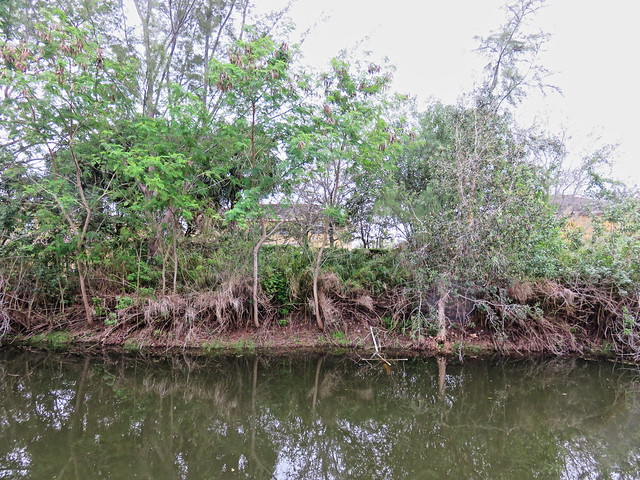 Heron Rookery herbicide damage 20150115