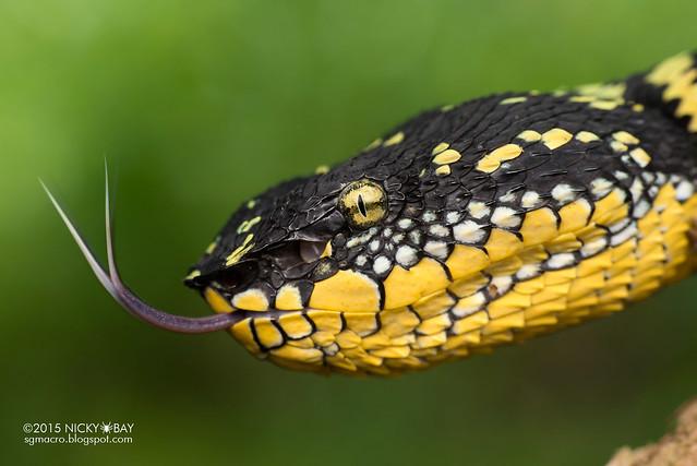 Wagler's pit viper (Tropidolaemus wagleri) - DSC_0836