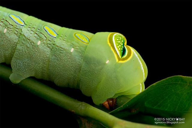 Green pergesa hawkmoth (Pergesa acteus) - DSC_8115