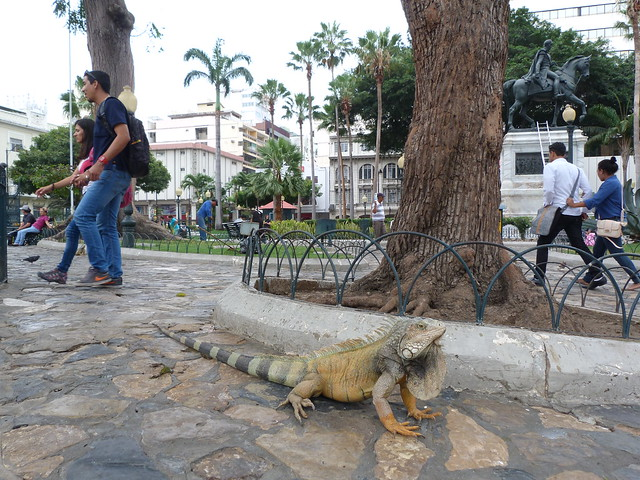 Iguana en Guayaquil (Ecuador)