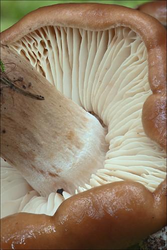 Лиофиллум скученный (Lyophyllum decastes) Автор: Amadej Trnkoczy (Slovenija)
