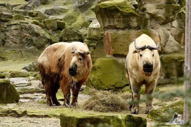 Berliner Zoo Orang Utan Rieke 22.02.2015   11