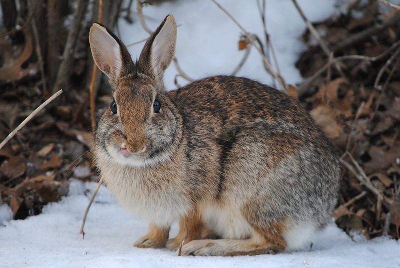 Rabbit (кролик)