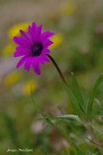 Anemone fior-stella (Anemone hortensis L.)