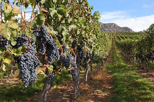 Vineyard Ready for Harvest in the Okanagan Valley, British Columbia, Canada.